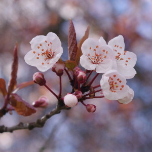 1200px-Cherry_blossoms_in_Vancouver_3_crop